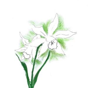 Engelstränen-Narzisse - Narzissus Thalia