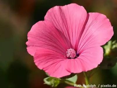 Bechermalven  Pflege Pflanzen Dngen  Schnitt