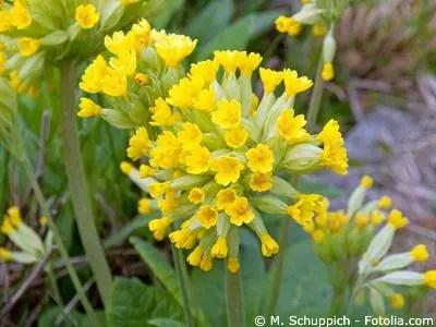 Echte Schlsselblume  Pflege Pflanzen Dngen  Schnitt