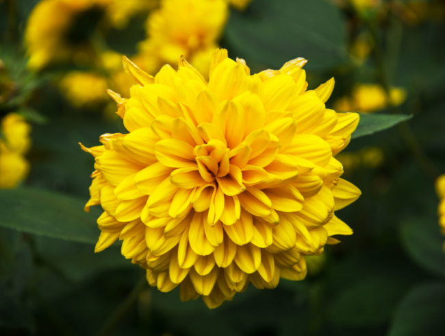 StaudenSonnenblume mehrjhrige Sorten  Gartenratgebernet