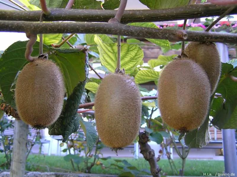 Kiwi Im Garten Anbauen Und Pflegen Gartenratgeber Net