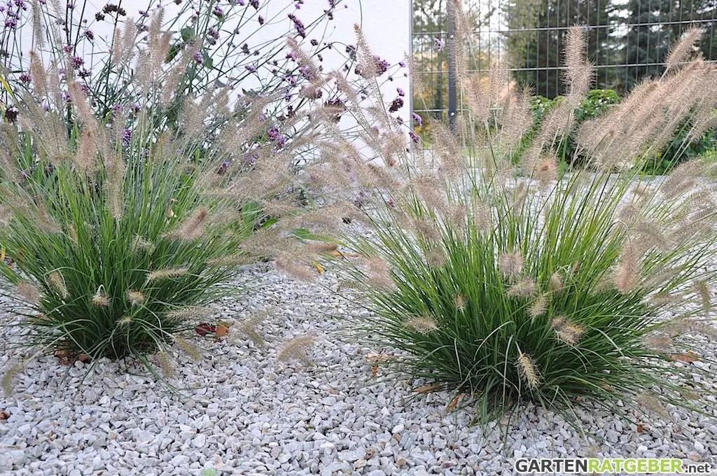 Pflanzen Lampenputzergras Federborstengras Pennisetum Alopecuroides L
