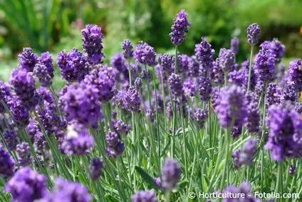 Lavendel Gartenratgeber Net