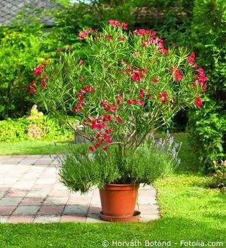 Oleander Im Kübel Oder Garten Pflegen Düngen Und Vermehren