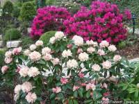 Rhododendron, Azaleen  Gartenratgeber.net
