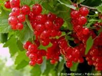 Weie und rote Johannisbeere  Pflege: Pflanzen, Dngen ...