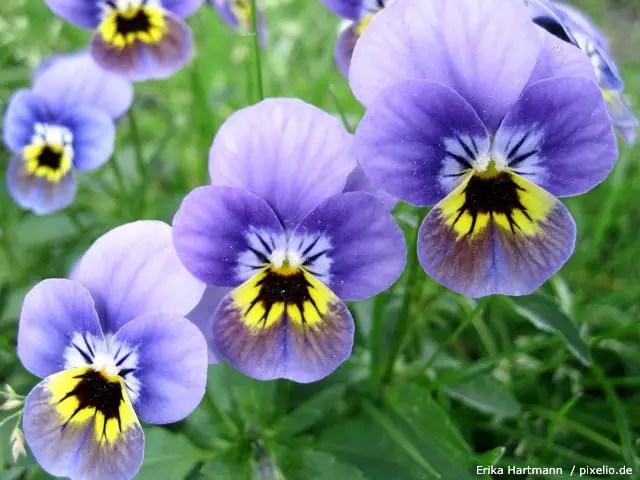Stiefmtterchen  Pflege Pflanzen Dngen  Schnitt
