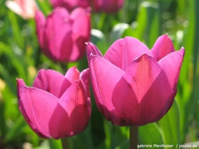 Tulpen  Pflege Pflanzen Dngen  Schnitt