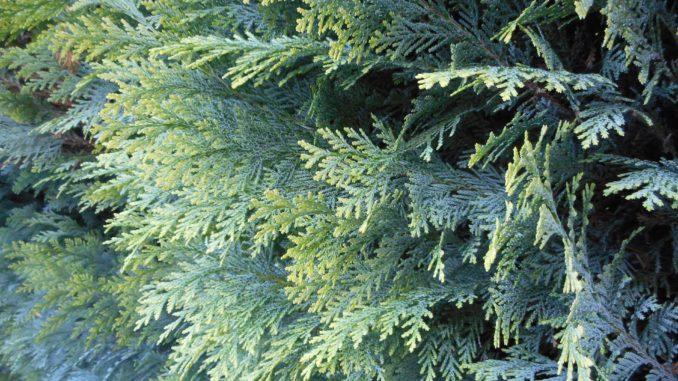 Immergrne Hecken  Diese 10 Heckenpflanzen sind winterhart