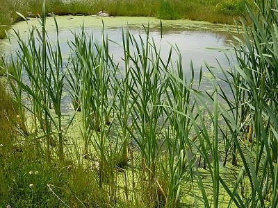 Algenplage im weiher wasserlinsen kaulquappen libellen for Algenplage im teich