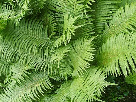 Farn Im Garten Pflanzen & Pflegen Blühende Tige Arten