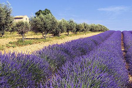Lavendel Im Garten Pflanzen Wann Schneiden Schnitt Pflege