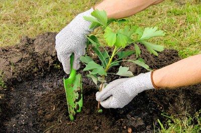 Ginkgo Pflanzen Und Pflegen – So Wird's Gemacht