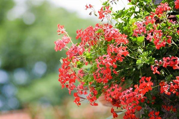 Bildergalerie Hngeampel Pflanzen fr die Sonne