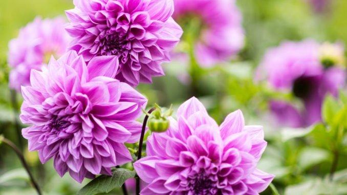 Welche Blumen Blhen Im Mai Cheap Blumenesche Fraxinus