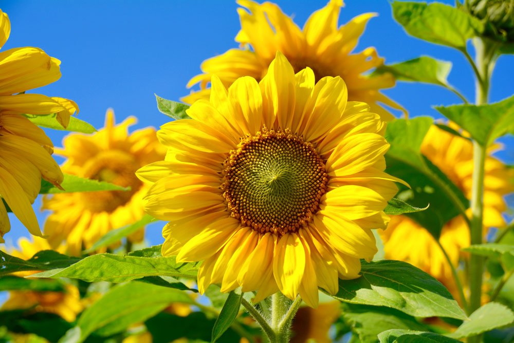Sonnenblume im Topf  So holen Sie den Frhling ins Haus