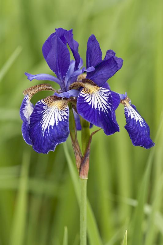 Iris  die Blume des Regenbogens  Gartenzauber