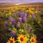 Wildflowers Washington
