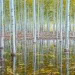 Poplars in Oregon