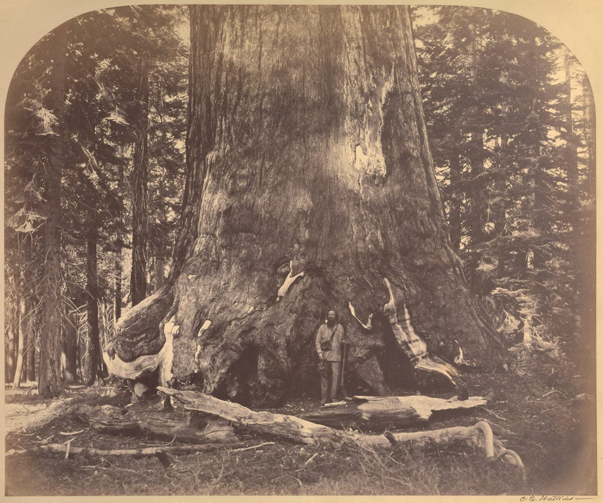 Grizzly Giant - Carleton Watkins