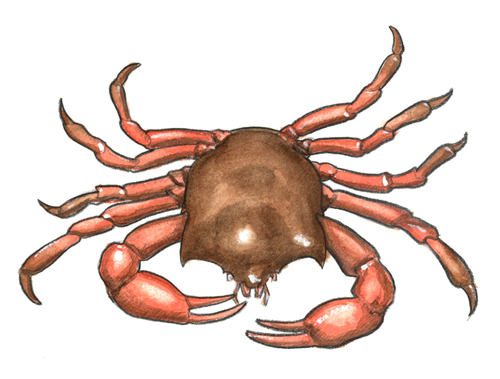 color sketch of a kelp crab.