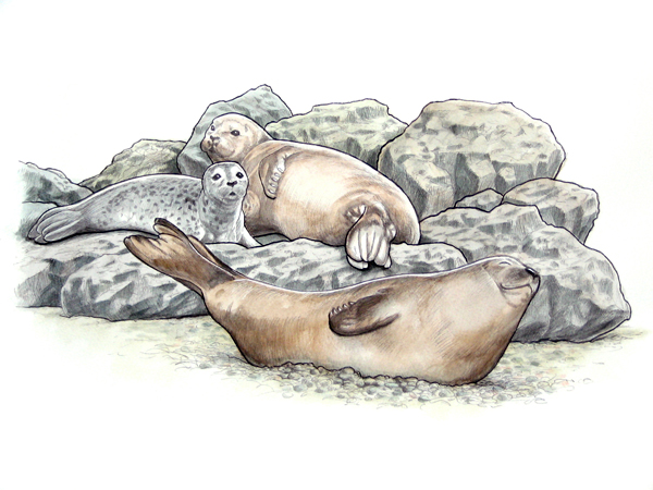 Harbor Seals at Coquille Point. Color.