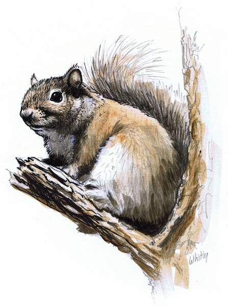 Squirrel color illustration.