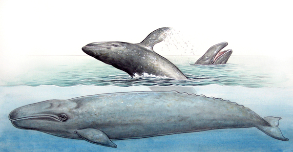 Pacific Gray Whales. Color.