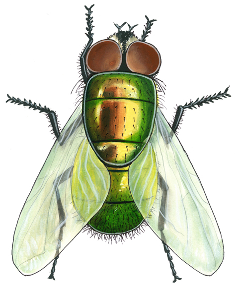 Green bottle fly color rendering.