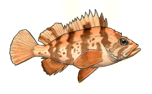 Color sketch of a Tiger Rockfish.