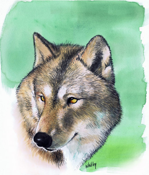 Sunlit wolf portrait. Watercolor and pencil.
