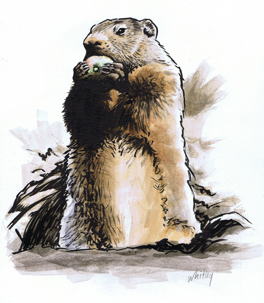 Woodchuck color illustration.