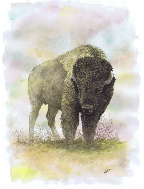 Bison. Watercolor by Gary Whitley.