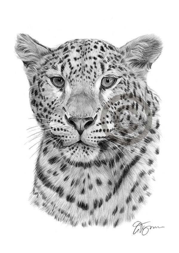 Leopard Pencil Drawing Art Print A3 A4 Sizes Signed Big