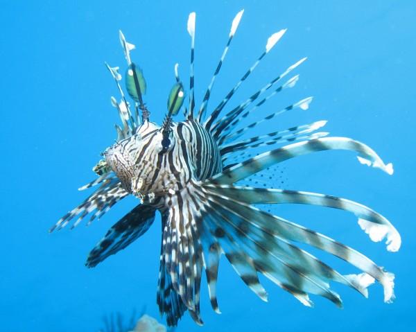 Invasione dei Pterois nel mediterraneo