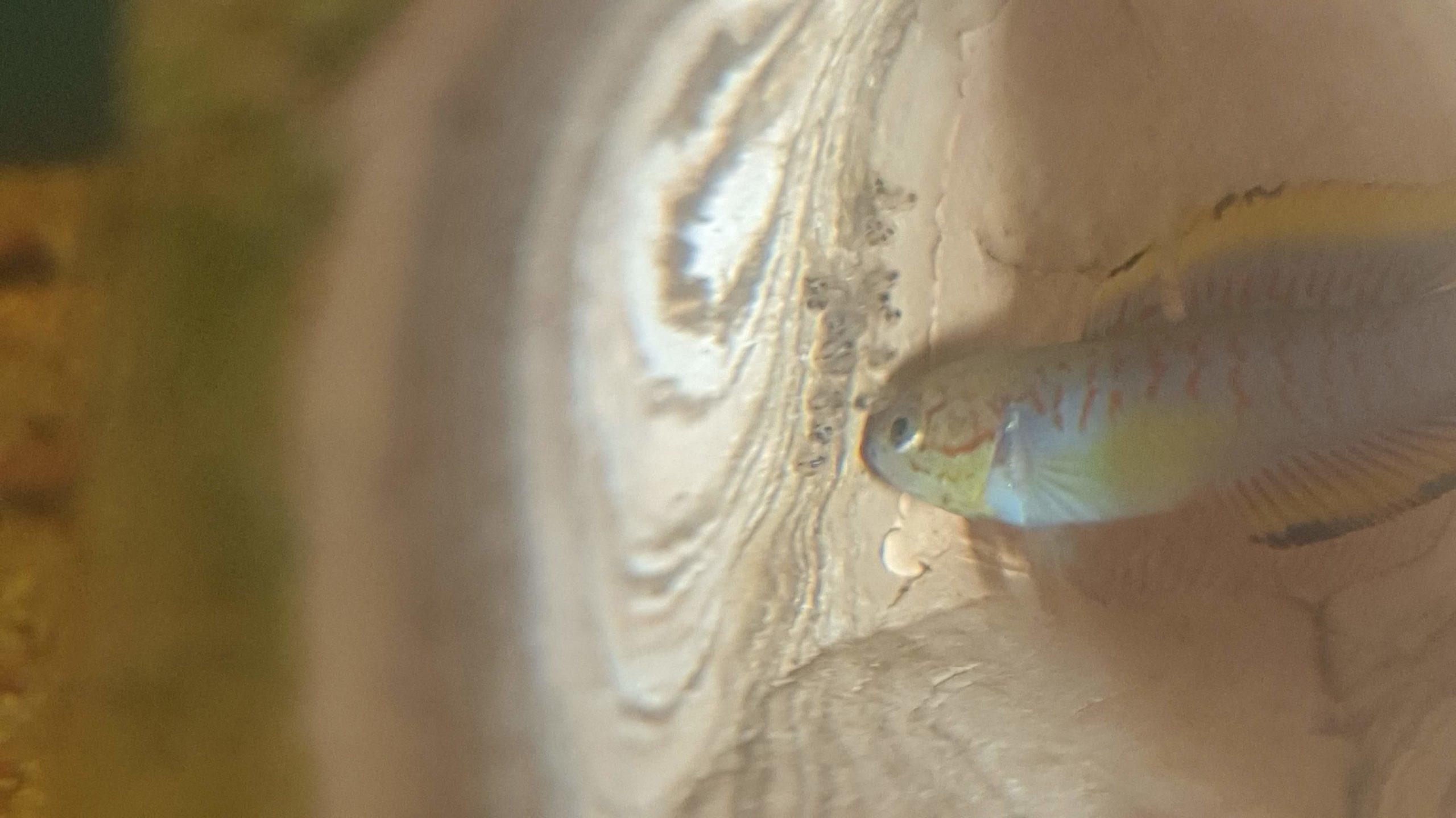 Esperienza di riproduzione di Tateurdina ocellicauda