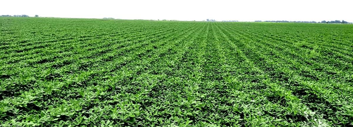 argentine peanuts