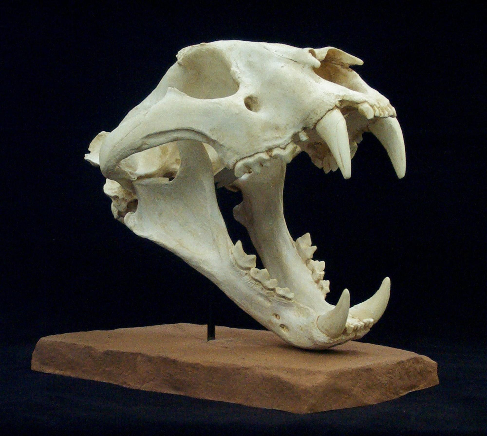 hight resolution of sumatran tiger skull gaston design inc tiger teeth skull diagram