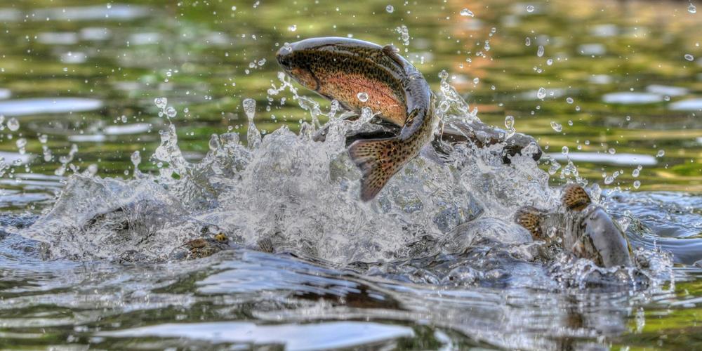 Rainbow Trout fishing in Arkansas