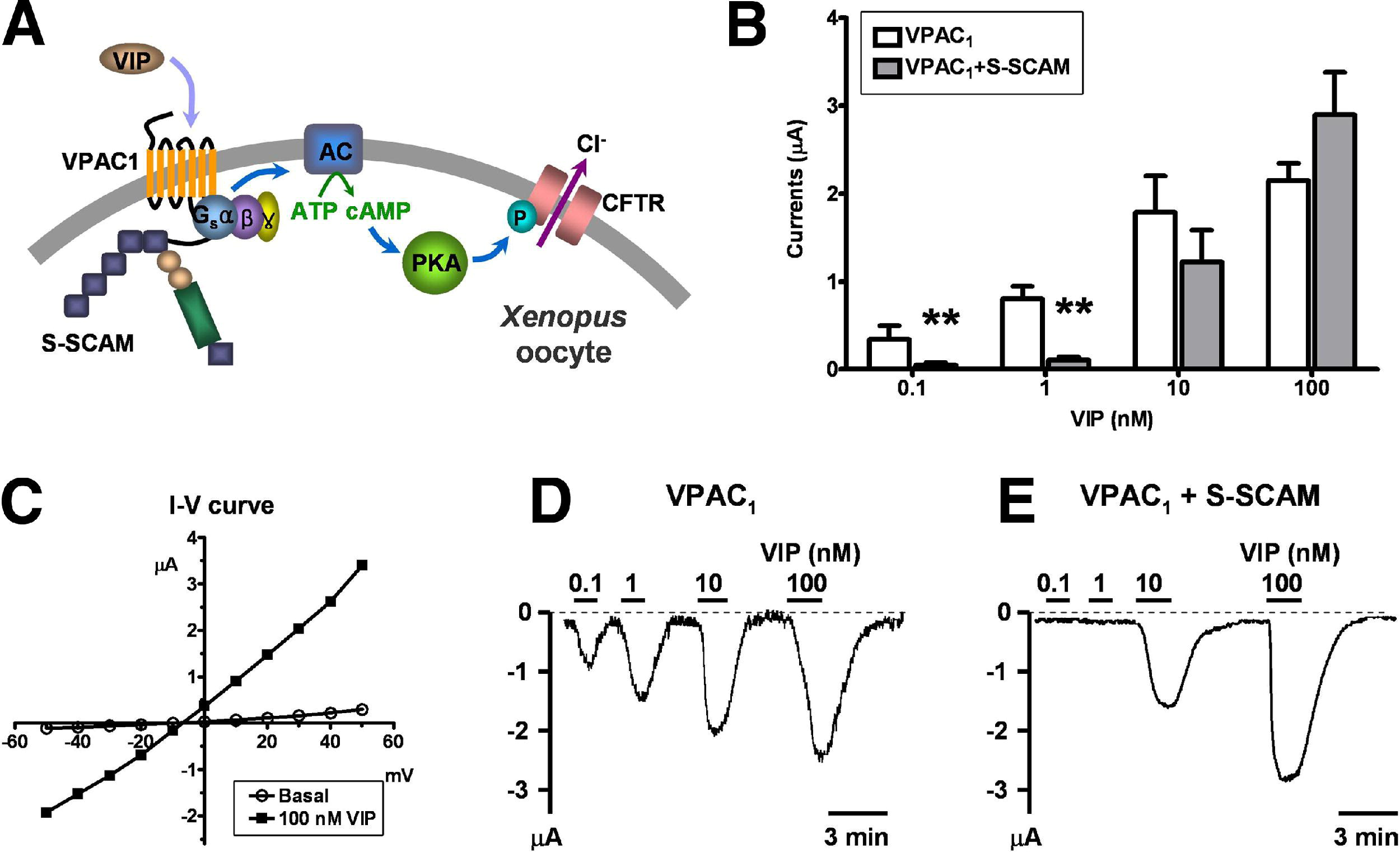 Synaptic Scaffolding Molecule Binds To And Regulates