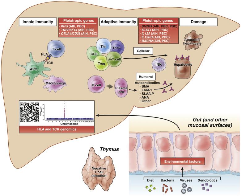 Genetic Risks Link Autoimmune Hepatitis to Other ...
