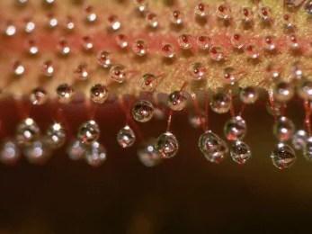 Gouttelettes de mucilage d'un droséra (plante)