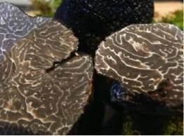 Truffes noires (coupe)
