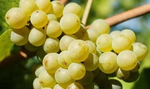 Cépage Pinot blanc
