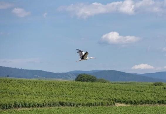 Cigogne survolant le vignoble Eichberg Grand cru à Eguisheim