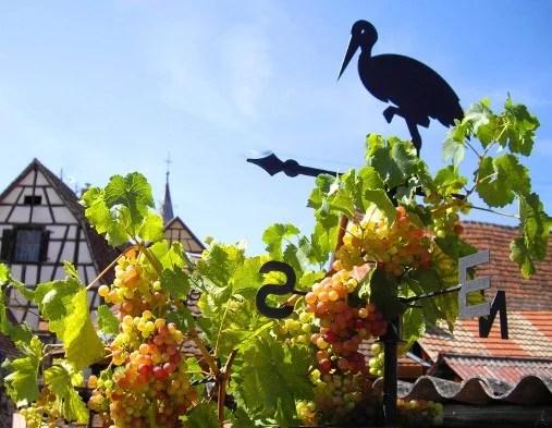 Pinot gris alsacien