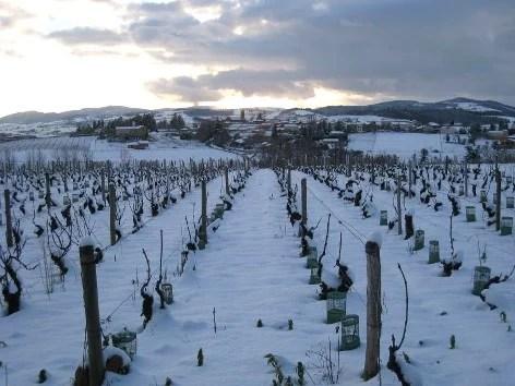 Vignes de Beaujolais sous la neige