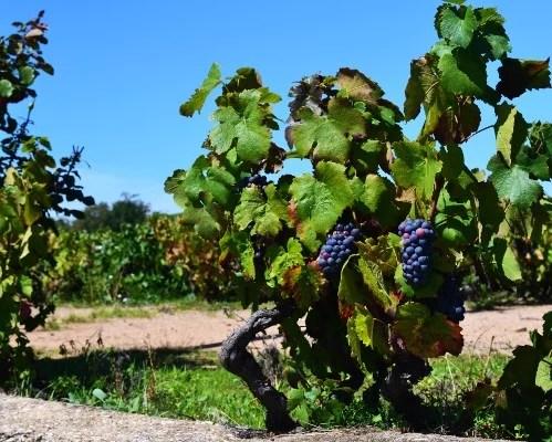 Vignes de gamay noir à jus blanc