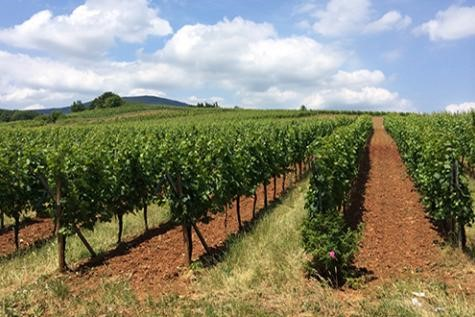 Vignoble de Sylvaner à Zotzenberg