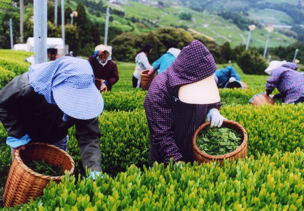 Récolte du thé au Japon